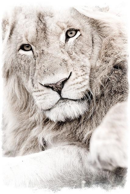 .Lion by Michael Poliza