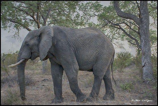 Majestic Elephant - Kruger Park, South Africa