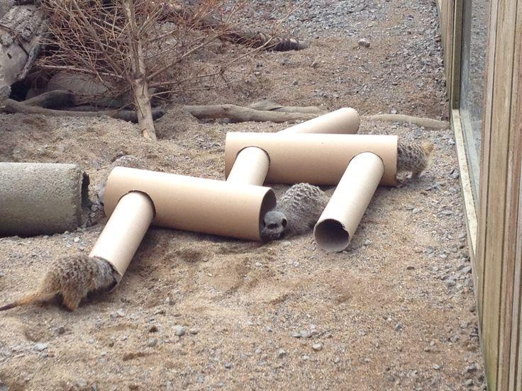 Cardboard tunnels for meerkats