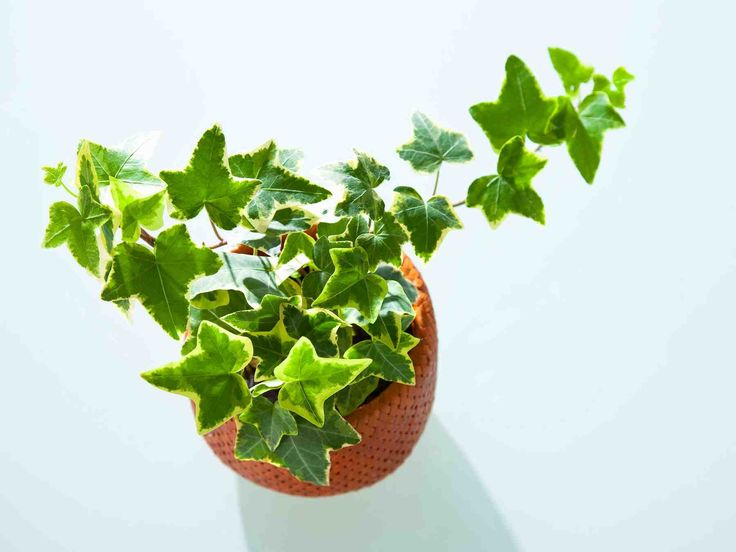 Huonekasvit tuovat kotiin raikkautta ja silmäniloa. Jollet ole kaikkein ahkerin kasvinhoitaja, valitse helppohoitoinen kasvi.
