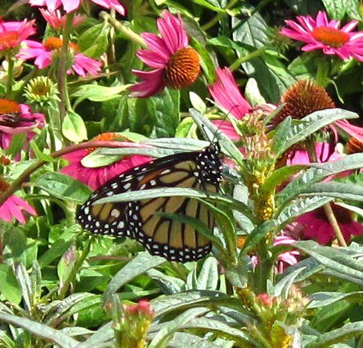 Atrae mariposas y zumbadores al jardín