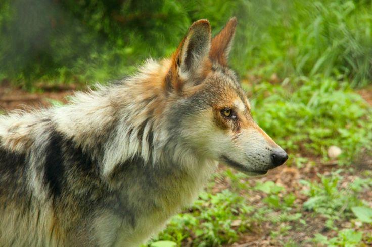 Pour stopper les attaques commises par des ours et des loups sur des hommes, le ministère roumain de l'Environnement a autorisé lundi l'abattage ou le déplacement de 140 ours et 97 loups.Le ministère roumain de l'Environnement a autorisé lundi l'abattage ou le déplacement de 140 ours et 97 loups, invoquant des dommages croissants provoqués par ces espèces protégées, en dépit des critiques des écologistes.
