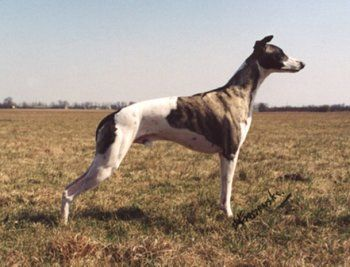 Information on Whippet Temperament and training