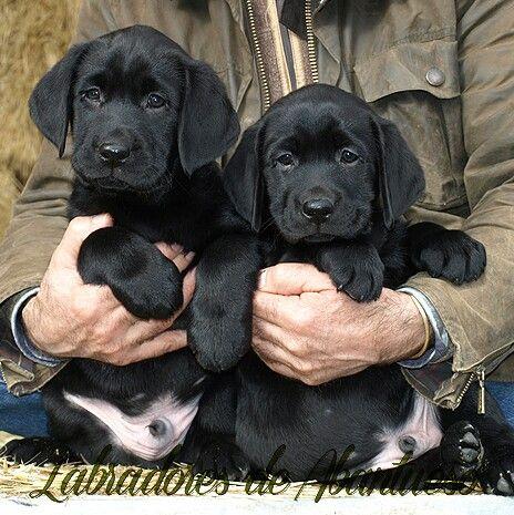 Labradores negros➋