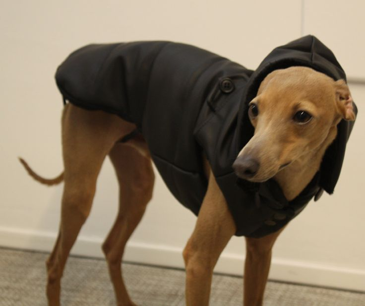 Clean, Italian Greyhound with his black rubber Bomber. Detachable hood with fake fur!   https://www.facebook.com/amicidialia https://www.etsy.com/shop/amicidialia
