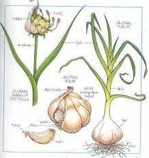 hvitløk er bra til samplanting for å holde udyr borte