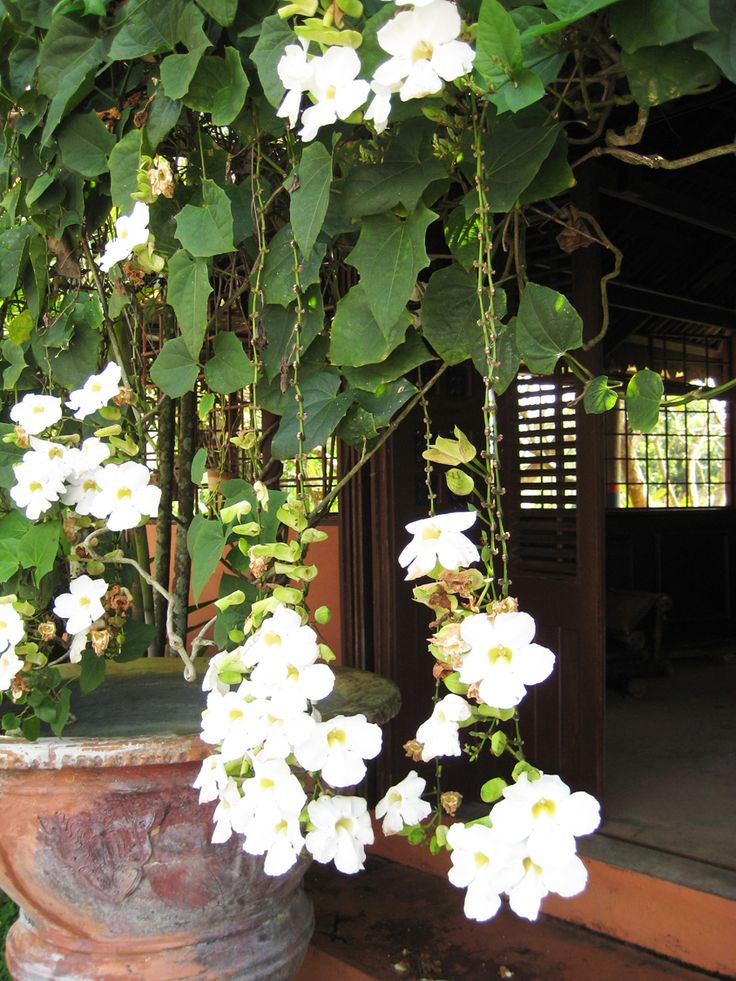 While on my travels around the Langkawi Island, Malaysia, sight seeing I came across these beautiful flowers