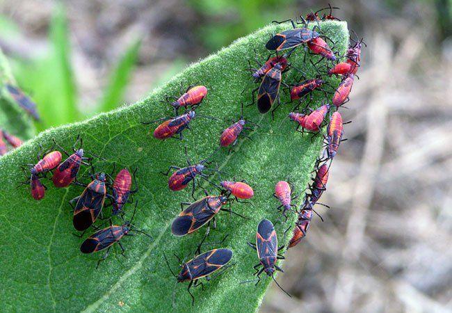 how to kill boxelder bugs inside