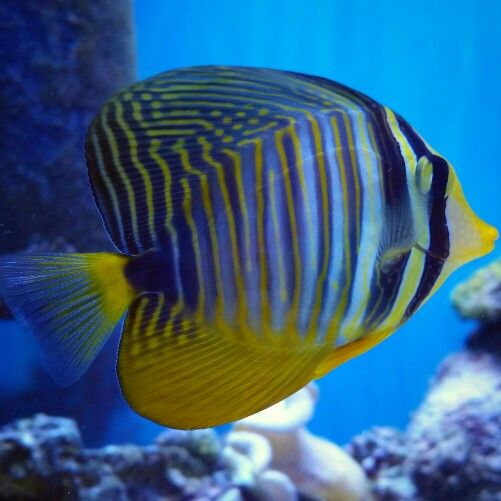 The 774 best images about marine aquarium fish on for Tang saltwater fish