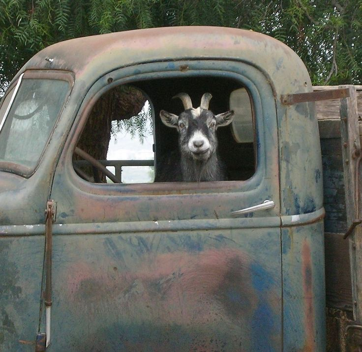 "Truck Driver Goat, Photo on 8x8 wood block. As seen in ""Southern Living"" magazine ,July,2011, via Etsy."
