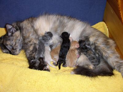 Mommy cat feeding her kittens.