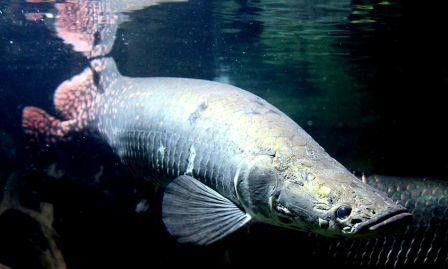 35 best images about Arapaima on Pinterest   The skulls ...
