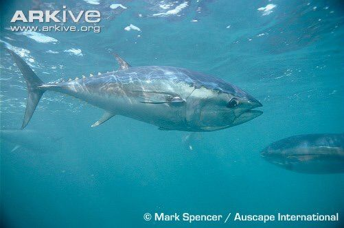 Southern Bluefin Tuna: Endangered due to overfishing. Make sure you know that your next meal is responsibly sourced.