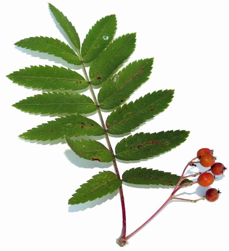Rowan leaf with berries