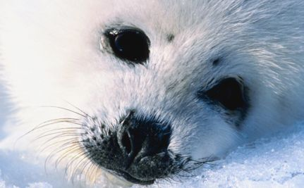 Care2 Success! Seal Pups Saved from Certain Death: Nice Plaatj, Animal Kingdom, Harp Seals, Cute Animals, Seals Pup, Baby Harp, God Creatures, Beautiful Creatures, Baby Seals