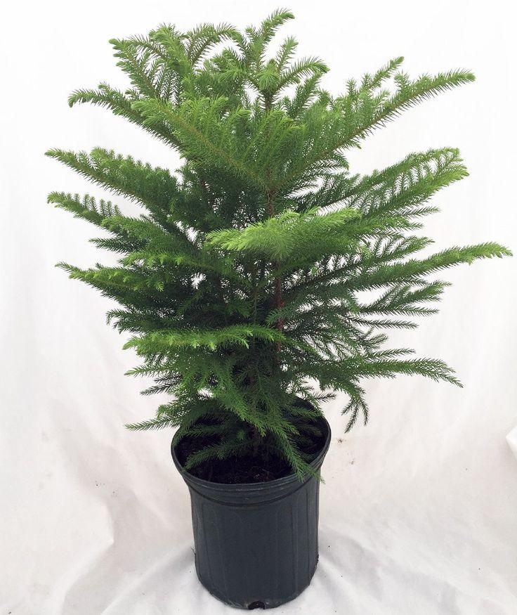 64 best Norfolk Island Pine images on Pinterest | Norfolk ...