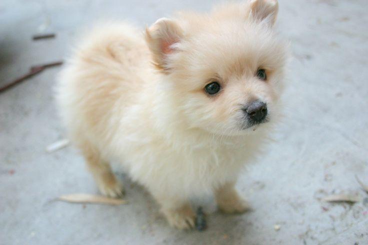 Teacup Pomeranian Husky Puppies White