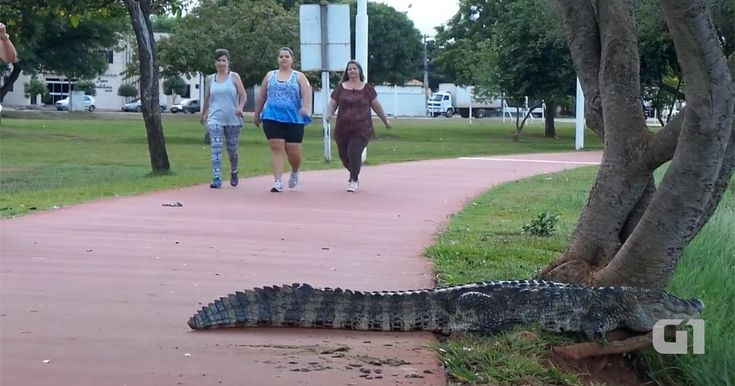 Jacaré assusta pedestres ao dormir na pista de caminhada em MS; veja
