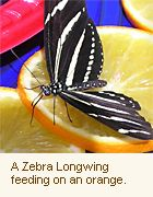 Other Ways To Attract Butterflies (Zebra Longwing). Butterfly FeederA  ButterflyDragonfliesZebrasWhat IsWildlifeWingsPlantDragon Flies