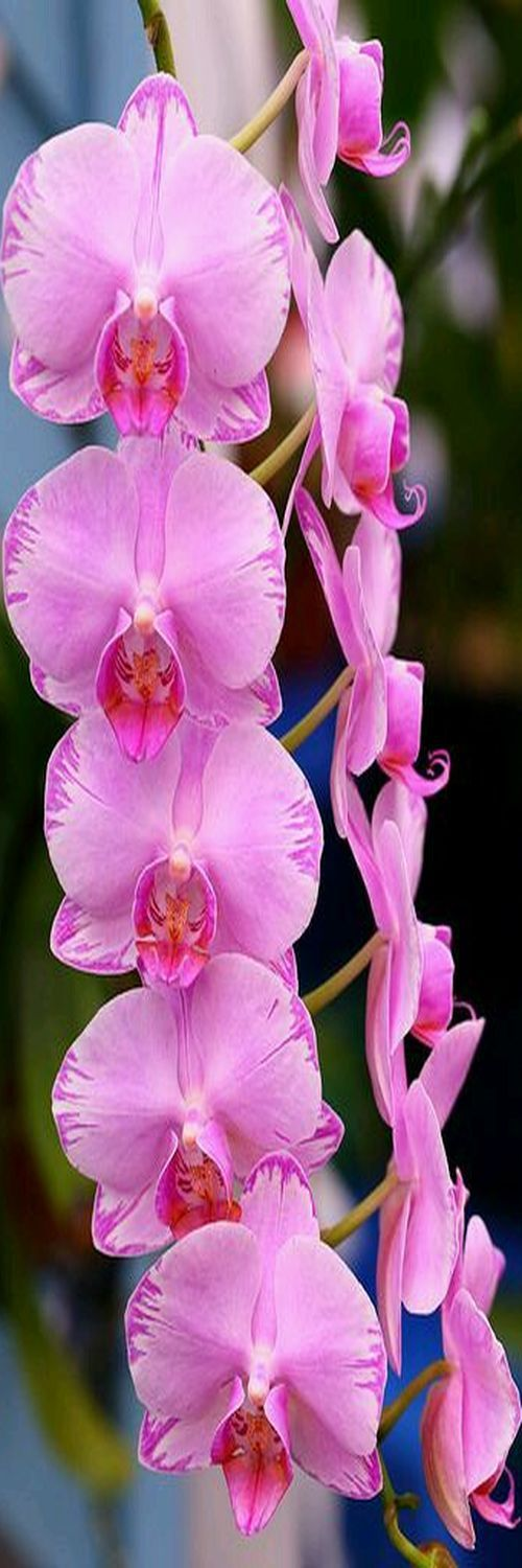 Beautiful Flowers - Most likely the Moth-orchid: Phalaenopsis