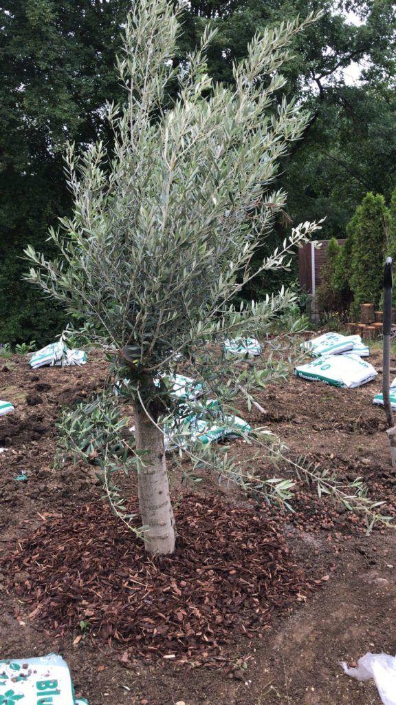 Die Richtige Olivenbaum Erde Grundlage Fur Tolle Oliven Olivenbaum Erde Olivenbaum Garten Pflanzen