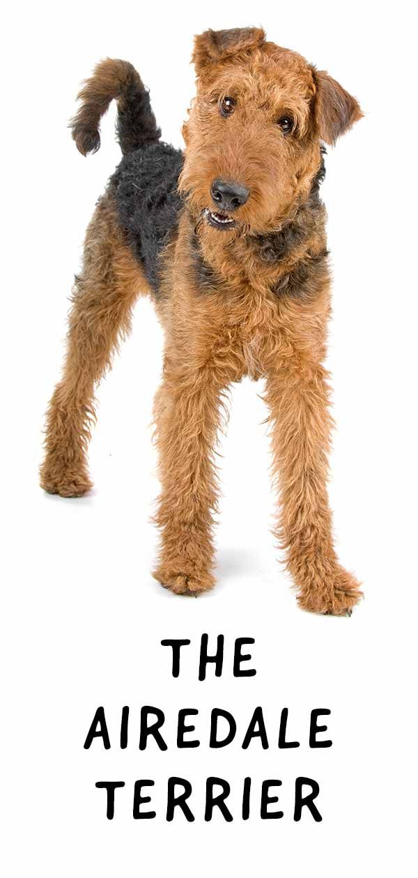 Airedale Terrier Dog Breed Information Center The Complete Guide