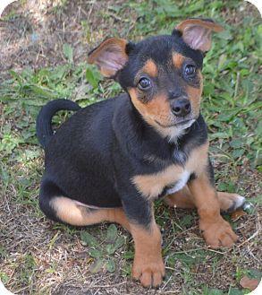 Glenburn, ME Redbone Coonhound/Chihuahua Mix. Meet Nessy