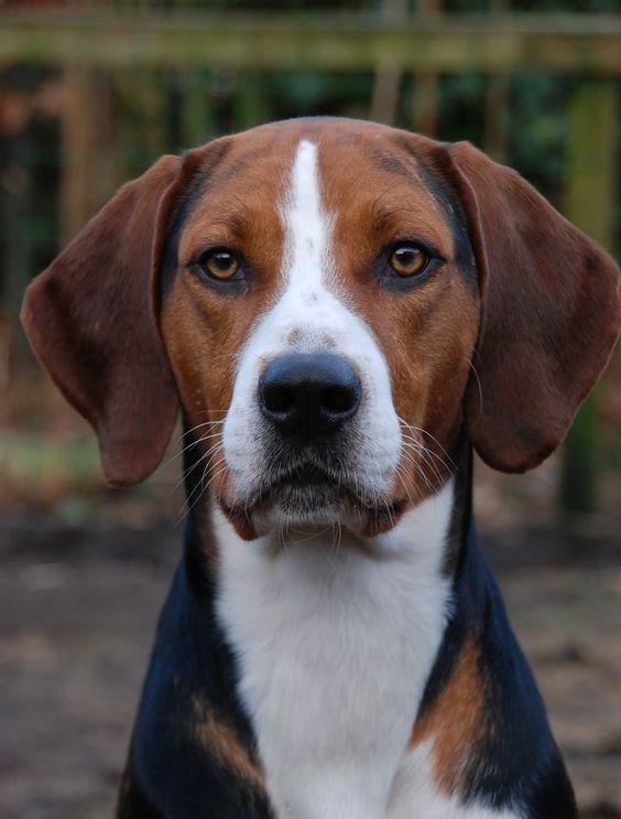 El Foxhound Americano es un perro de cacería. Este perro es de tamaño mediano, aunque entre los perros hound es de buen tamaño. Muy buen rastreador con un excelente olfato y de mucha resistencia, capaz de seguir la pista por varias horas sin demostrar signos de fatiga o cansancio. Característico de este perro es lo desarrollado que tiene el sentido de encontrar el camino de regreso.