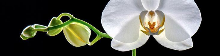 Orchidée signification