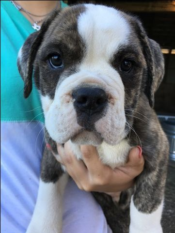 Litter of 9 Olde English Bulldogge puppies for sale in CANYON LAKE, TX. ADN-27226 on PuppyFinder.com Gender: Male. Age: 14 Weeks Old