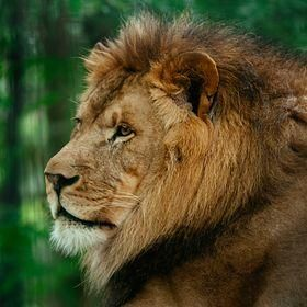 African Lion,