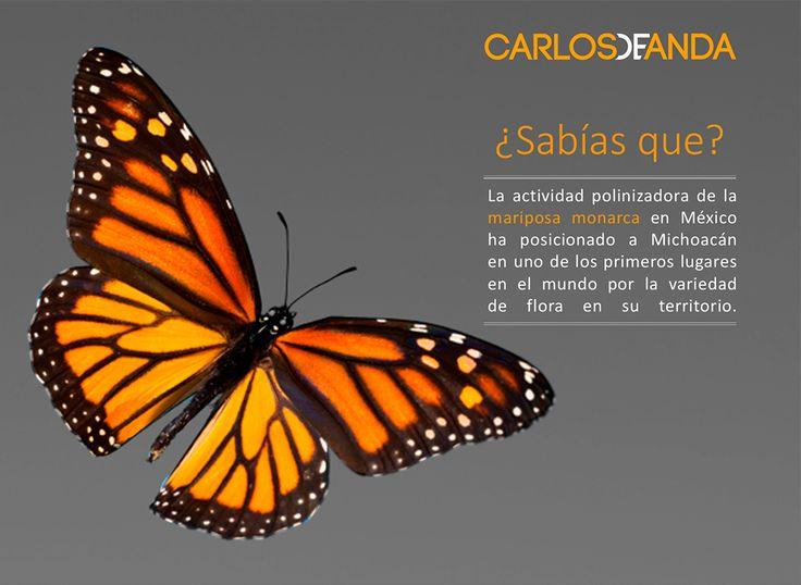 Las Mariposas Monarca, gran inspiración para #CarlosdeAnda, es por ello que te compartimos su gran belleza y significado.
