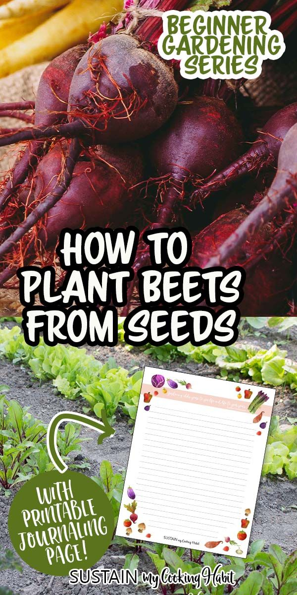 Packed Full Of Nutrients Beet Plants Are Versatile And Easy To Grow Learn How To Grow Beets To Enjoy All Season Long With In 2020 Growing Beets Beet Plant Beet Seeds