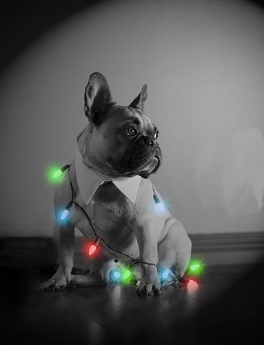 French Bulldog Christmas. Oh Oliver.... I think this may be your pose this year!