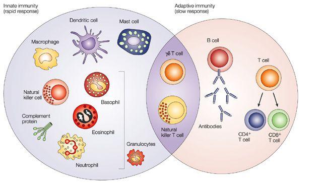 Fisiología: Tema 7. Fisiología del sistema inmune (I)