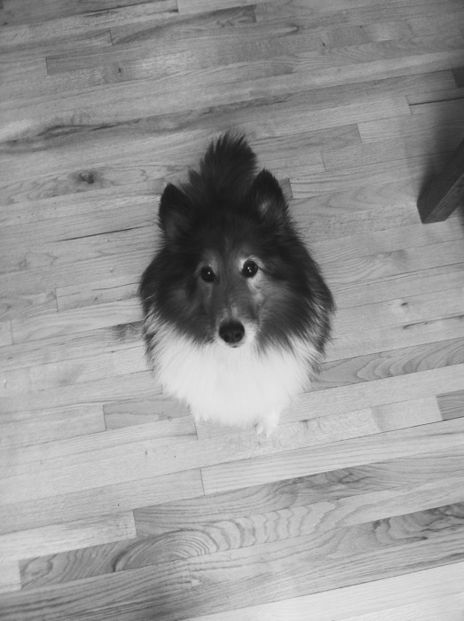 fluffy sheltie by ragzx0fxlace - photo #16