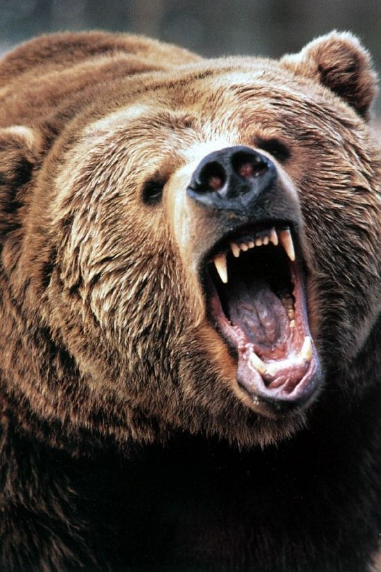 Grizzly Bear Fight! | Shock Mansion