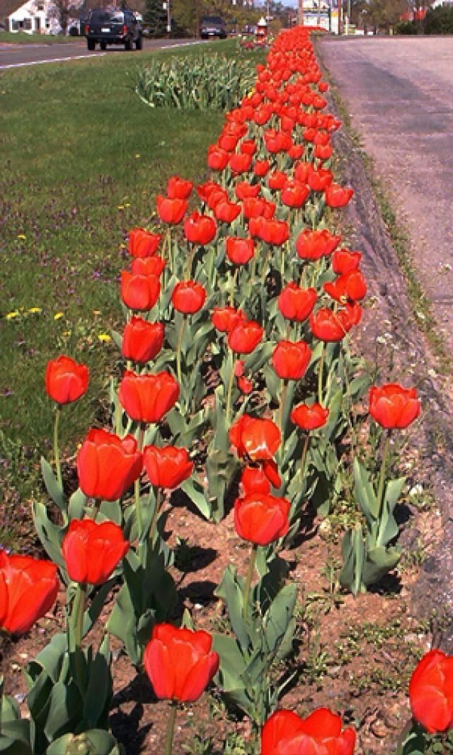 Pictures of Red Flowers: Picture of Red Tulips