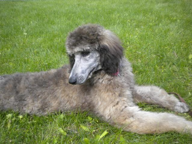 Standard Poodles For Sale | Standard Poodles for Sale: Standard Poodle Breeders: Standard Poodles ...