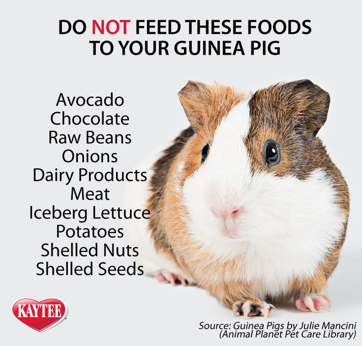 Foods to avoid feeding to your guinea pig. All pets, no matter how small, deserve all the love you can give! Remember, always consult your vet before introducing any new foods to your pets.