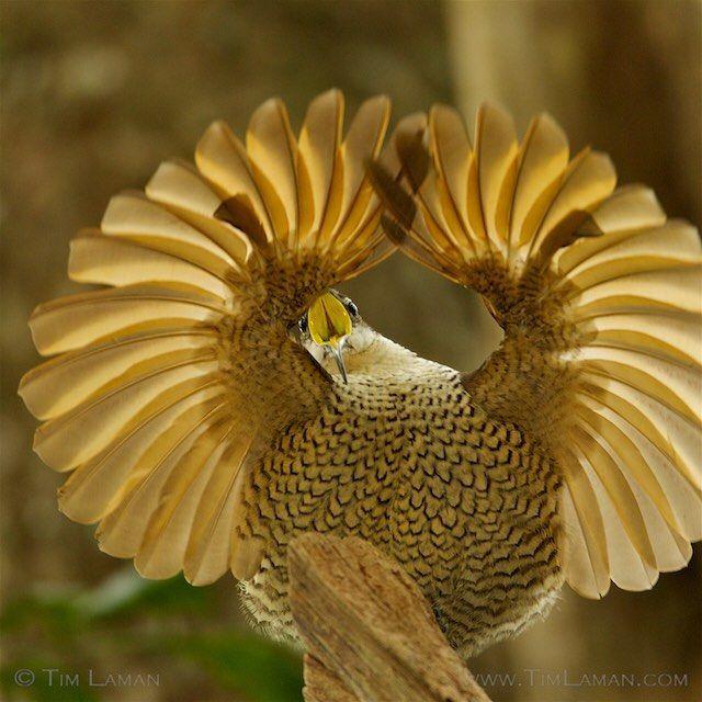 A young male Paradise Riflebird - Ardan News