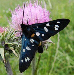 Amata phegea (Linnaeus, 1758) - le farfalle della Puglia