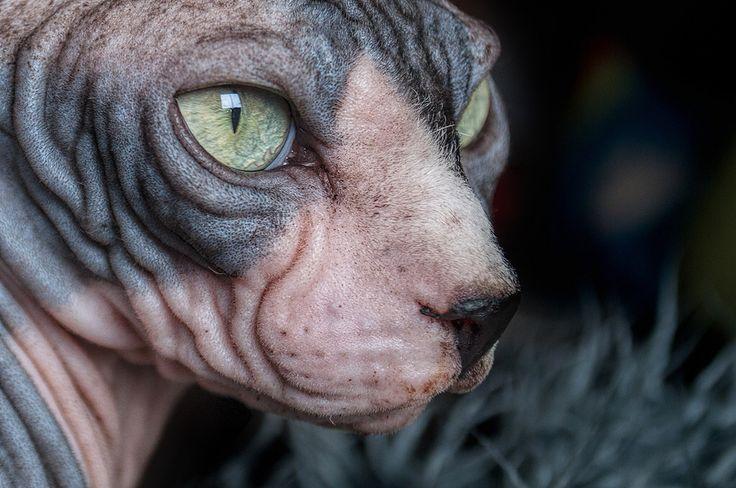 Spyhnx Cat