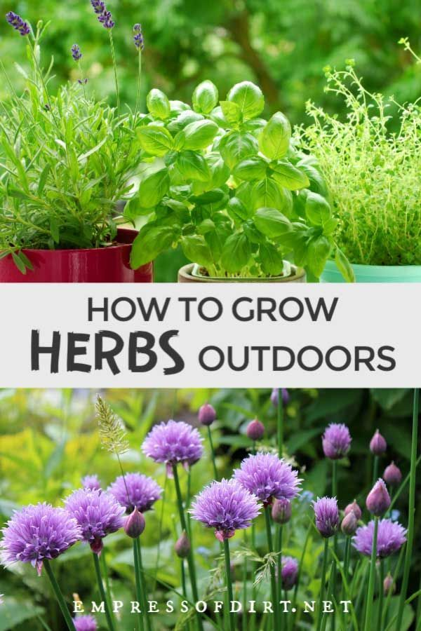 How To Grow Herbs Outdoors Beginner S Guide Perennial Herbs Planting Herbs Growing Herbs