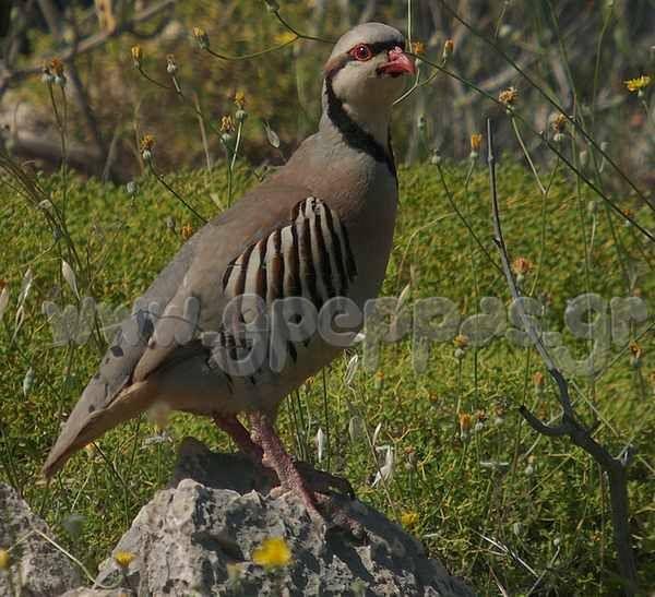 Τα ορνιθόμορφα πουλιά που επιτρέπεται το κυνήγι τους στην Ευρώπη.  Τα ορνιθόμορφα είναι πουλιά εδαφόβια, με βαρύ σώμα, κοντά και πλατειά φτερά, ενώ τα πόδια τους είναι μέτρια σε μήκος και σε σχέση με το υπόλοιπο σώμα τους. Στην τάξη αυτή ανήκουν τα φτερωτά ενδημικά πουλιά της νότιας Ευρωπης όπως η ορεινή πέρδικα, η νησιωτική πέρδικα, η πεδινή πέρδικα, ο φασιανός καθώς , το αποδημητικό ορτύκι και ο λαγοπόδης των Άλπεων. ΣΥΝΕΧΕΙΑ http://www.gpeppas.gr/perdikes/SouthVSNorth.html