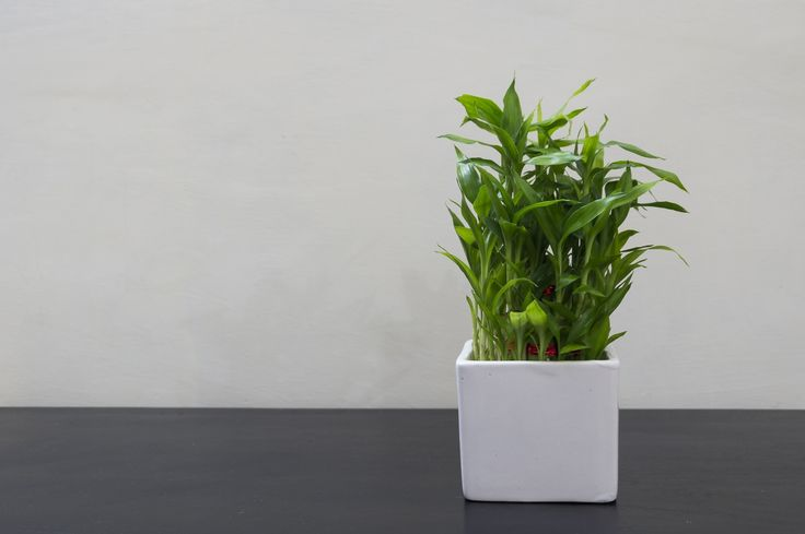 how to take care of bamboo house plants