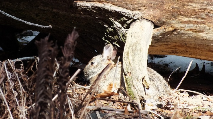 A rabbit works hard at trying to hide itself from the Great Horned Owl which is sitting in a tree above it in Thickson's Woods in Whitby - Ontario