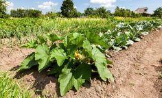 Выращивание овощей по Джону Джевонсу – небывалый урожай   Первая полоса (Огород.ru)