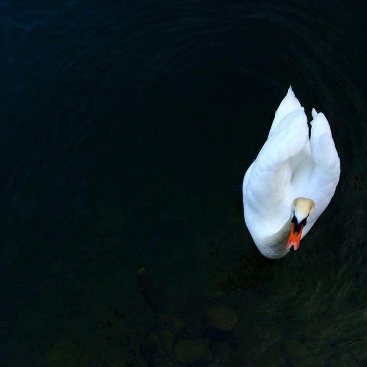 Swan on Hallstatt lake —– Лебедь на озере Халльштатт. Read full post about Hallstatt please ... Читайте пожалуйста наш пост о Халлштатье .. goo.gl/A5gRTBone5s