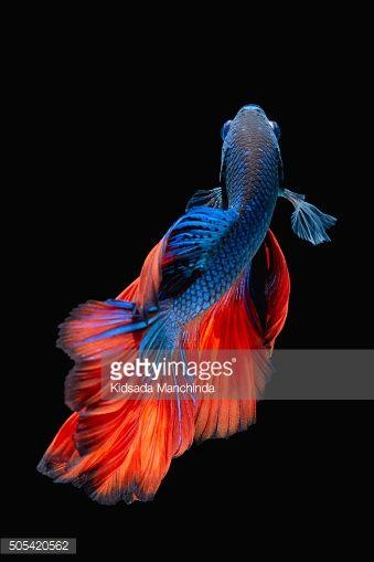 Stock Photo : Betta fish